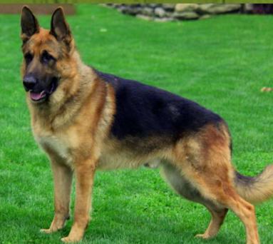 Luther Male German Shepherd